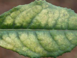 Tea leaf showing magnesium deficiency