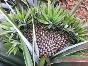 Extreme calcium deficiency causes pineapple fruit malformation